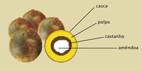 Resultado de imagem para óleo macaúba